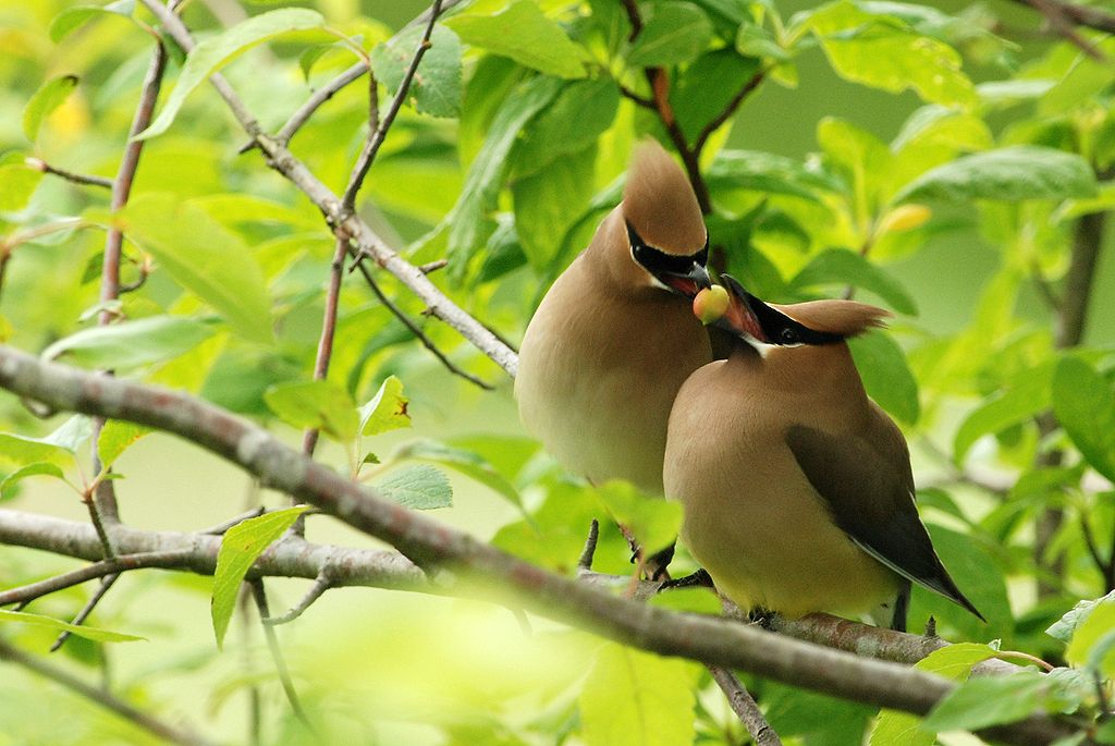 Brown Trail - Cedar Waxwing