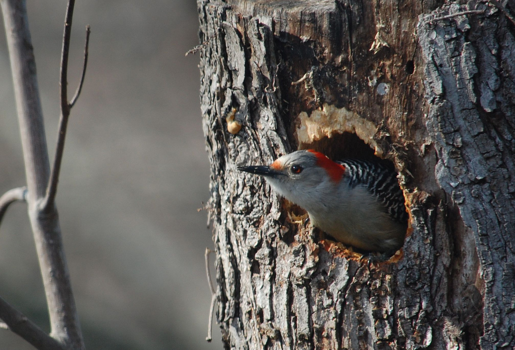 Red Bellied Woodpecker-Fauna