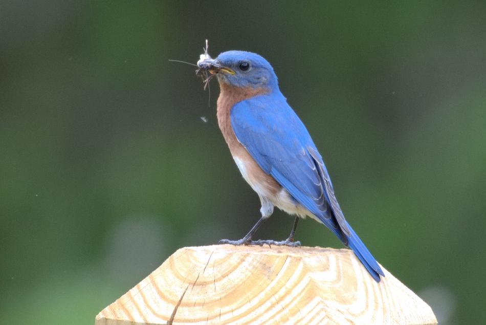 Bluebird on signpost