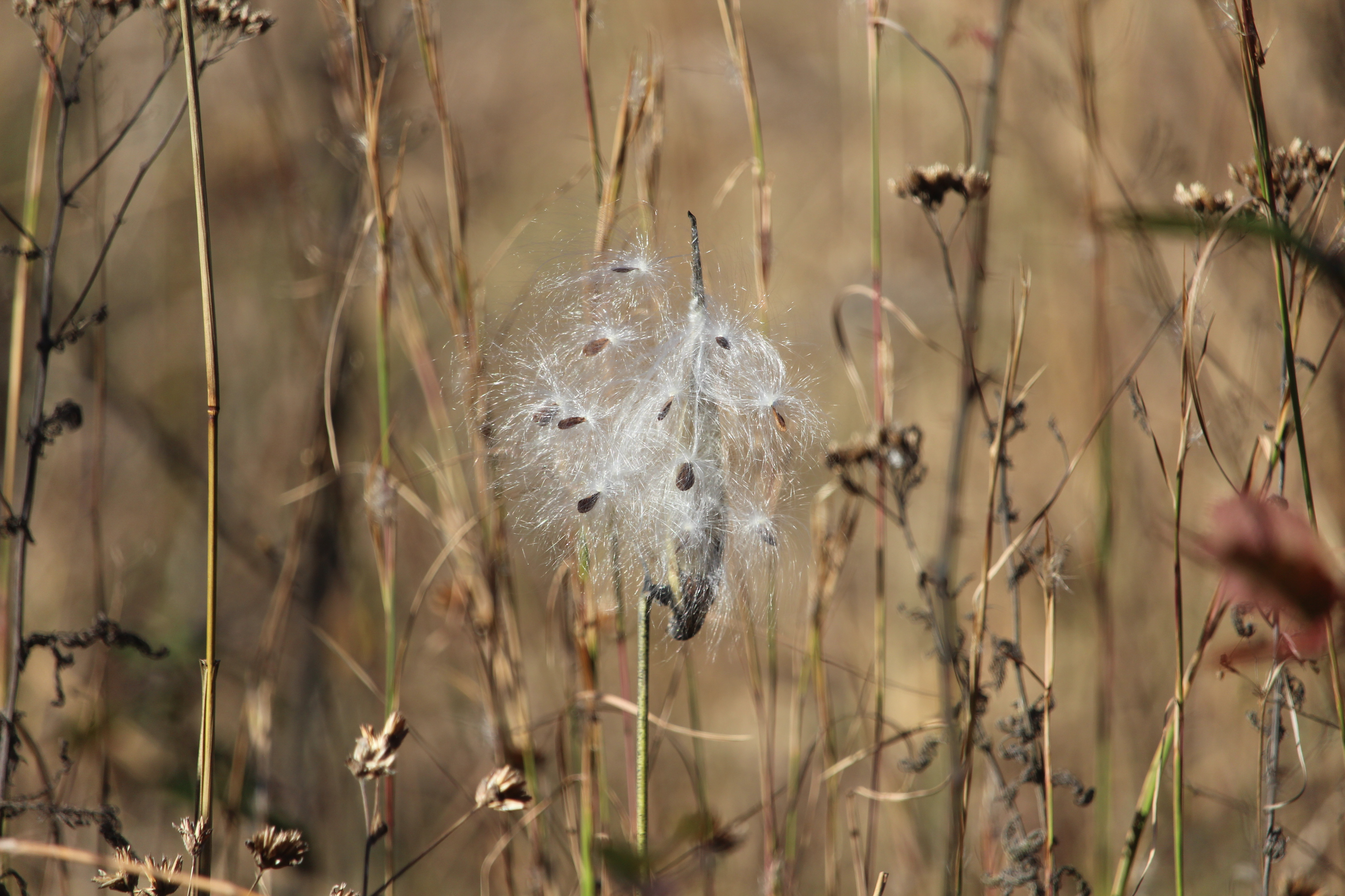 Milkweed in the North Field