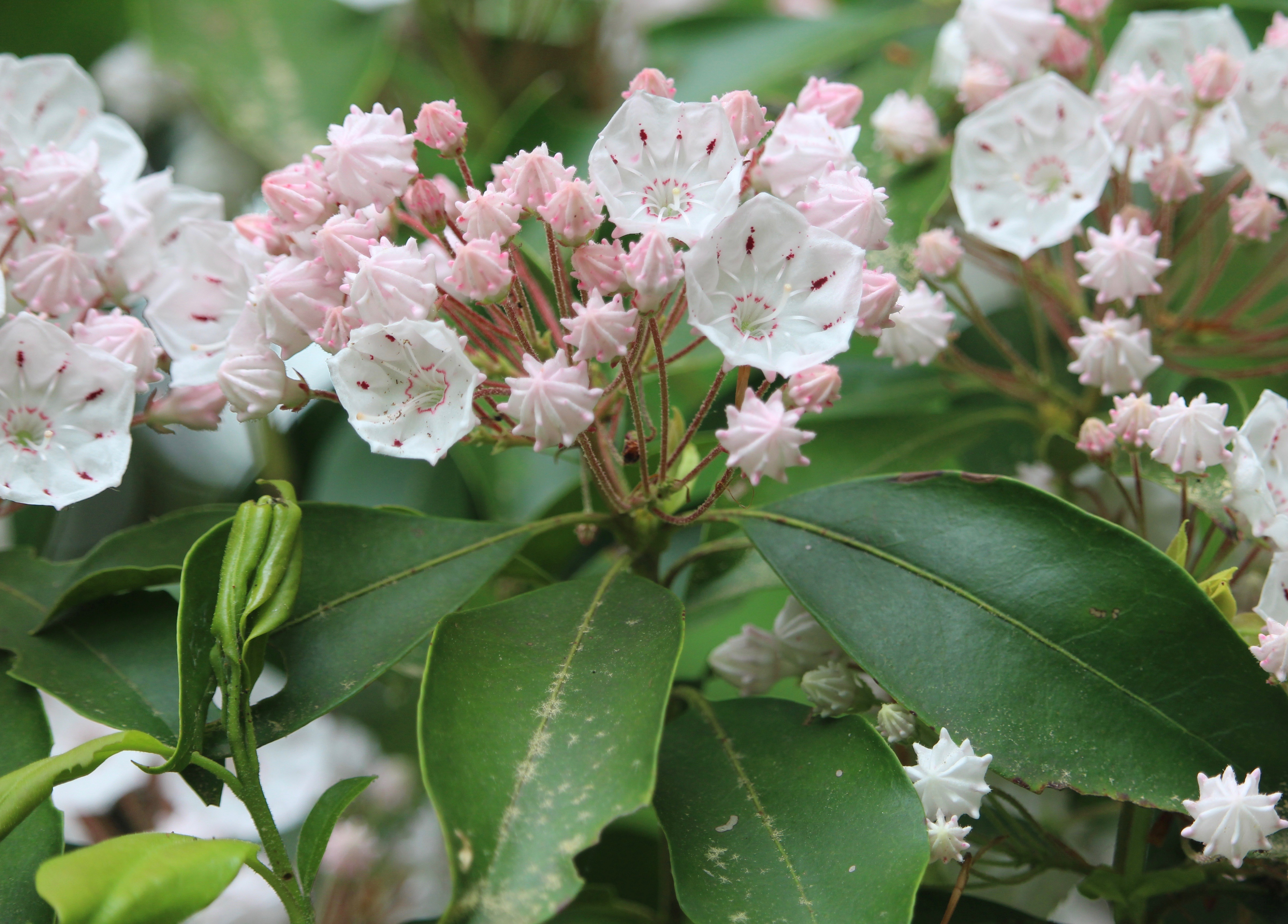Mountain laurel on Blue Trail